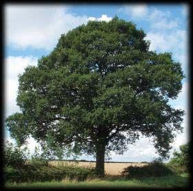 oak tree pictures