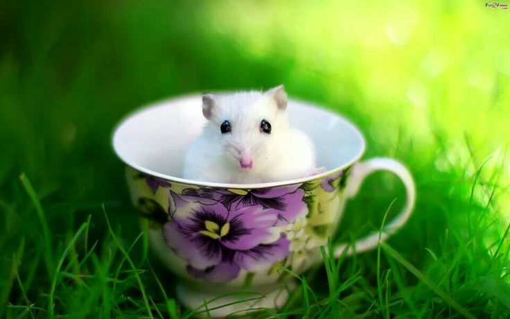 Cup Of Mouse Cute Hamsters Hamster Hamster Wallpaper