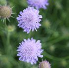 (P8) Scabiosa columbaria - blue Position: full sun Soil: moderately fertile, well-drained, neutral to slightly alkaline soil Rate of growth: average Flowering period: July - September Flower colour: lavender blue Other features: the flowers are highly attractive to butterflies and bees; valuable for fresh and dried flower arrangements Hardiness: fully hardy H: 50cm S: 40cm