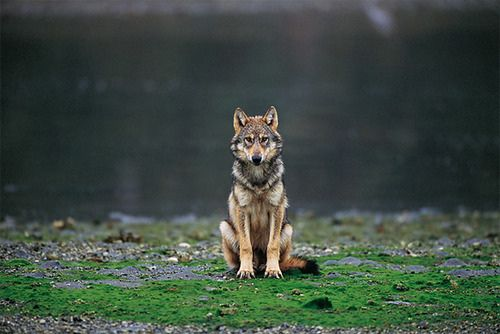 my favorite animal.Wild, Vancouver Islands, Coyotes, Art Photography, Lonely Wolf, Chicken Coops, Beautiful, Lone Wolf, Animal