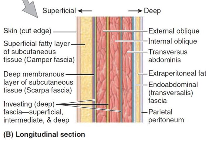 "Scarpa's fascia, or stratum membranosum abdominis, is the deep membranous layer of superficial fascia of the anterior abdominal wall with a high quantity of elastic fibers to protect vital organs in the abdomen. Antonio Scarpa was an Italian anatomist and surgeon who founded the study of orthopaedic surgery. Scarpa noticed a second layer of ""condensed substance"" that attached to a hernia during observation and believed this deep fascia is what contained the hernia."