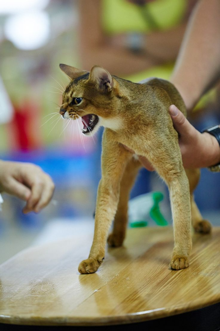 451 best Felinity - Abyssinians & Wild Cats images on Pinterest ...