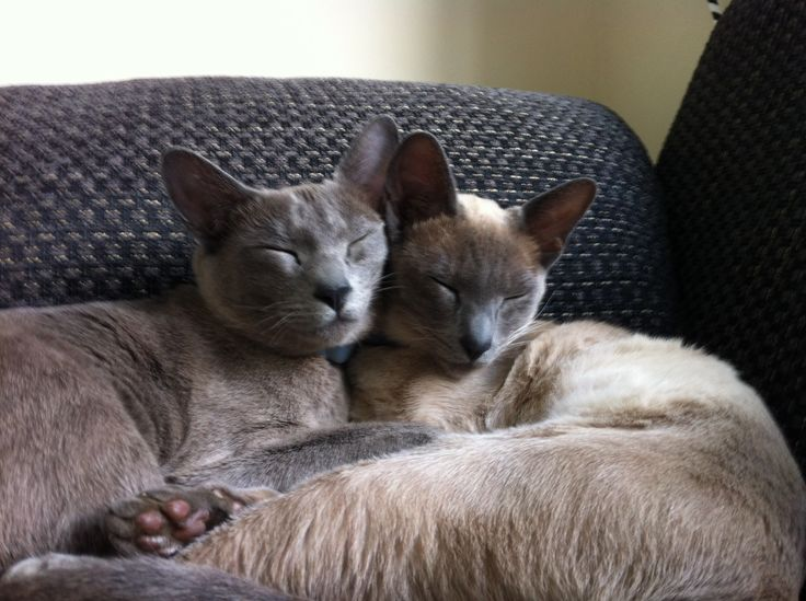 Tonkinese Kittens   Tonkinese Kittens for sale from our adorable ...