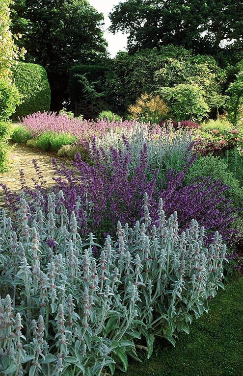 GREY AND PURPLE;  Lambs ear and salvia.