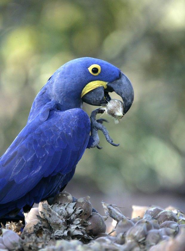 Arara-azul (Anodorhynchus hyacinthinus) - A espécie saiu da Lista de Espécies da Fauna Brasileira Ameaçadas de Extinção - Foto: MikeLane45/iStock/Thinkstock