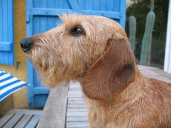 Elevage familial de teckels à poil dur nains et kaninchen et de scottishs terriers