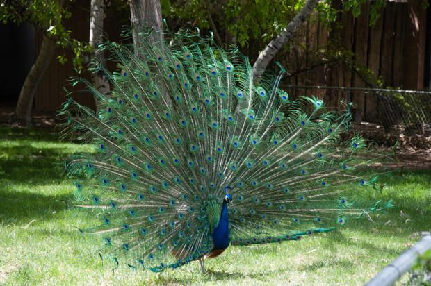 They're not born with their fancy tail feathers.  9 Feathery Facts About Peacocks | Mental Floss