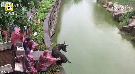 Horrible: Chinese zookeepers push scared donkey into moat filled with hungry tigers • Pet Rescue Report