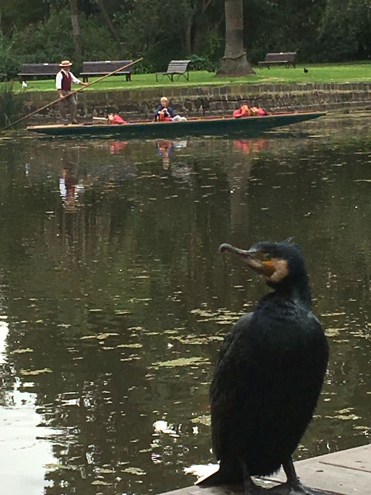This big fellow joined us in the Royal Botanic Gardens Melbourne today.   The Great Cormorant is the largest of the Australian cormorants and is one of the largest in the world.   www.punttours.com.au