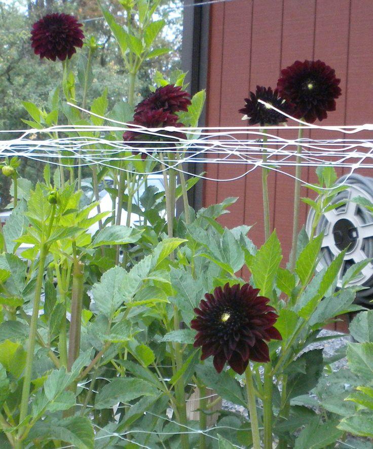 Black Flower Garden : Best images about black mixed flower border on
