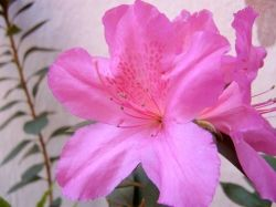 """""""A azaléia, planta da família das Ericáceas, normalmente significa """"alegria de amar"""" e perseverança. Contudo, cores diferentes têm significados diferentes. A azaléia cor de rosa representa o amor à natureza; a azaléia branca é uma indicação de romance e a azaléia vermelha , quando oferecida a alguém, significa que você ama essa pessoa há muito tempo. Os arranjos florais compostos por azaléias estão relacionados com elegância e felicidade."""""""