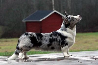 Cardigan Welsh Corgi: Corgis, Small Dogs, Pet, Puppys, Cardiganwelshcorgi, Cardigans Welsh Corgi, Blue Merle, Doggies Treats, Watches Dogs