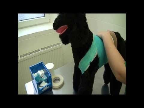 CSL: Body bandage for dogs and cats - demonstrated on a model - YouTube