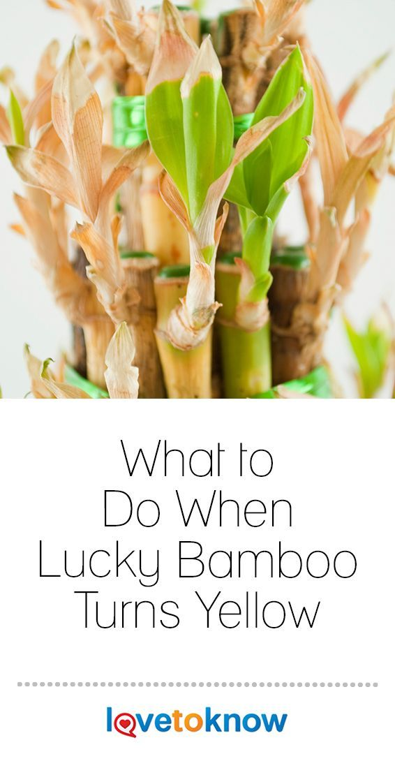 What To Do When Lucky Bamboo Turns Yellow Lucky Bamboo Plants Bamboo Plant Care Indoor Bamboo Plant