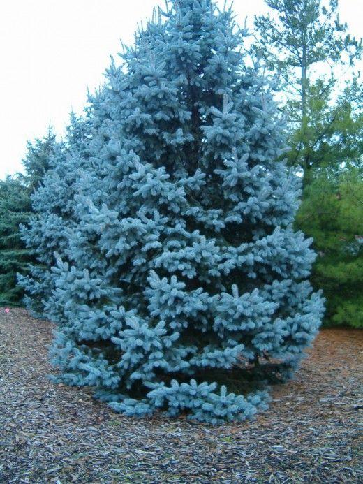 Ель голубая «Хопси» (Picea pungens 'Hoopsii') — самая голубая ель. Фото: © godpasta