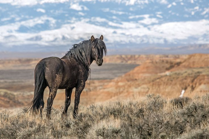 The wild mustang stallion, Mesquite, surveys the grand landscape of McCullough Peaks Herd Management Area outside Cody, Wyoming.