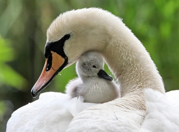 motherhood.Mothers Day, Nature, Beautiful, Creatures, Baby Animal, Adorable, Feathers, Baby Swan, Birds