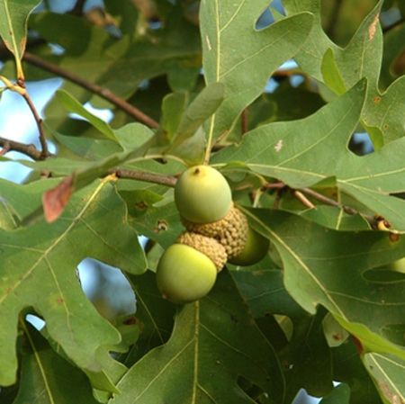 White Oak Tree for Sale