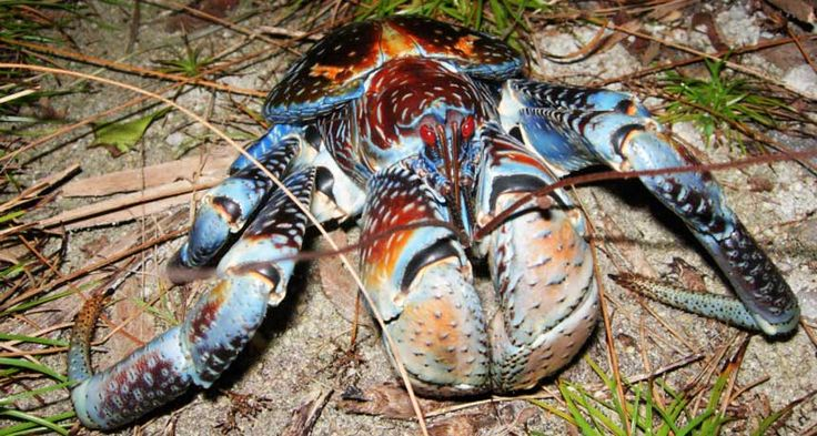 Coconut crabs use their surprisingly powerful claw for more than cracking coconuts.