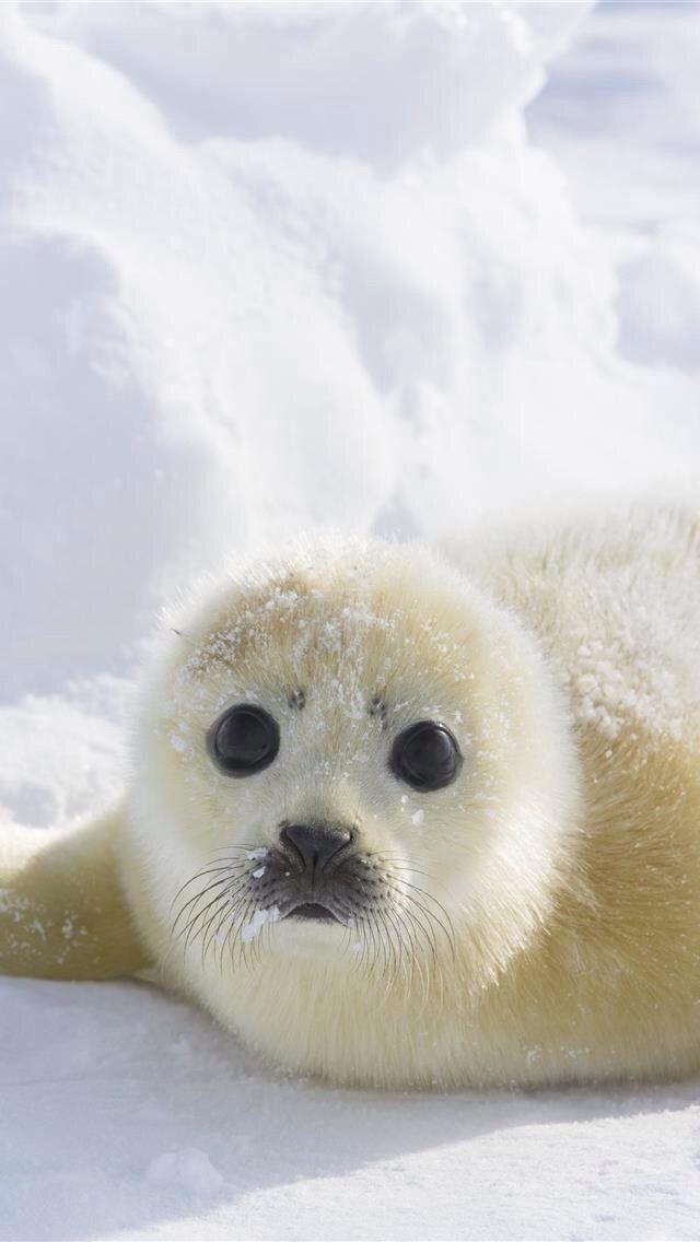 Baby Harp Seal Cute Animals Cutee Animals Animals Beautiful