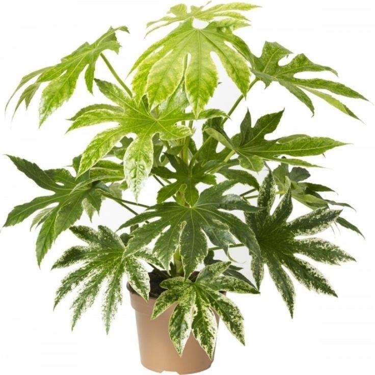 Aralia 'Spiderweb' - Buskig frodig planta med stora blanka blad som är dramatiskt översållade av vita fläckar.