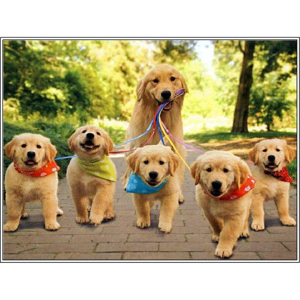 4 Dog Puppy Golden Retriever Dogs Puppies 6 Greeting Notecards/ Envelopes Set ($6.99) found on Polyvore featuring animals, pets, dogs, photos and pictures