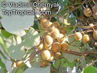 Actinidia deliciosa, Chinese Gooseberry, Kiwi Fruit -