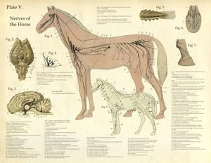 92 best images about horse diagrams on pinterest. Black Bedroom Furniture Sets. Home Design Ideas
