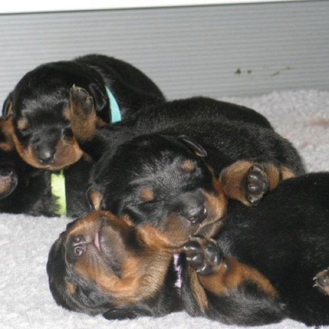 Pitbulls Fall Wallpaper 318 Best Rottweiler Images On Pinterest Rottweilers