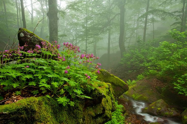 """Scent of spring.  """"Wild Geranium by the river in a misty spring forest""""  Bulgaria.  by Evgeni Dinev."""