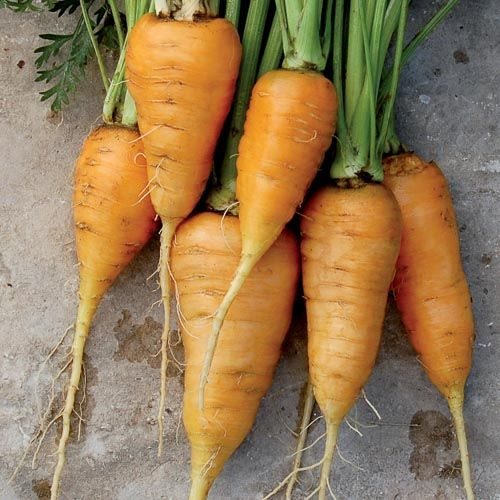Carrot, Oxheart - we have these in the garden now. My planting from last year self seeded. If you would like some I have a bunch of seeds.