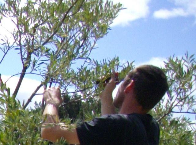 Les 25 meilleures id es de la cat gorie arbre olivier sur pinterest jardins - Quand tailler olivier ...