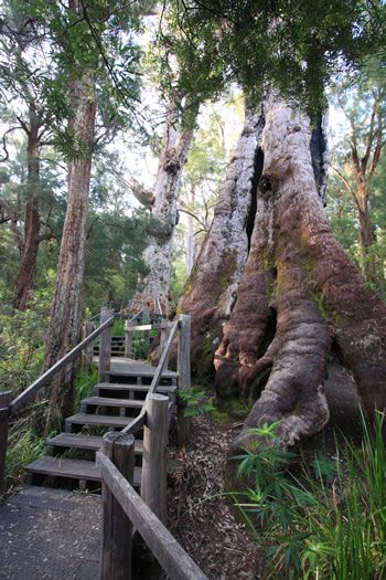 THE Giant Tingle Tree – believed to be the oldest Eucalyptus tree in the world – is in Walpole Nornalup National Park in the Walpole Region of Western Australia.