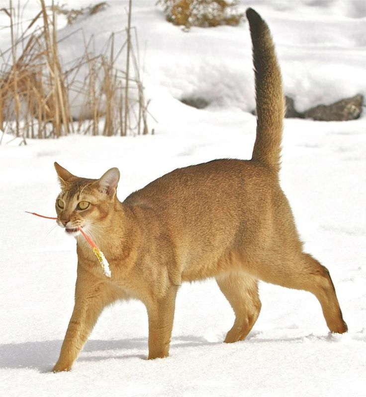 1000 Images About Chausie Cat On Pinterest Cats Color