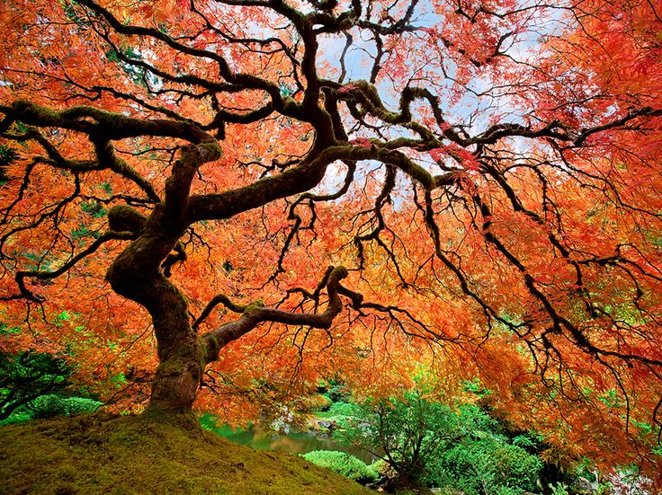 Japanese Maple in Portland, Oregon: Autumn sets a Japanese maple afire with color. The tree (Acer palmatum) is one species among many at the Portland Japanese Garden in Oregon, a 5.5-acre showplace meant to evoke the gardens of an estate in pre-modern Japan. Photograph by Sonja, flickr/Getty Images. November 11, 2013