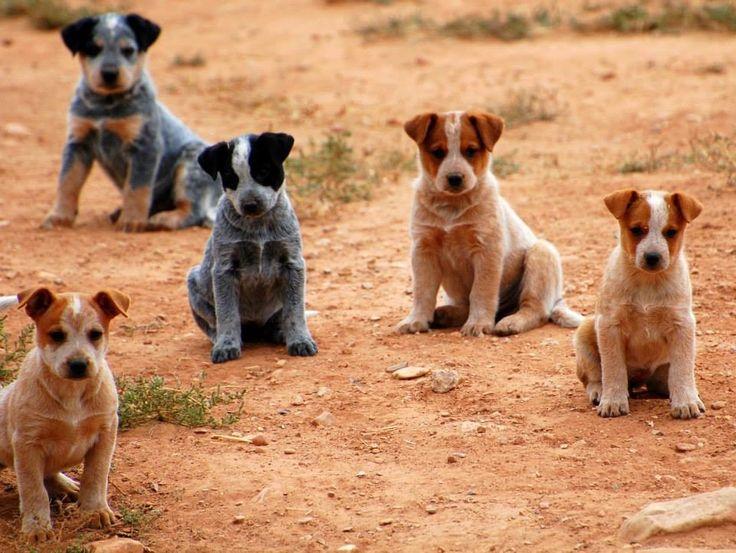 Australian Cattle Dog | Heeler love | Pinterest | Dog baby ...