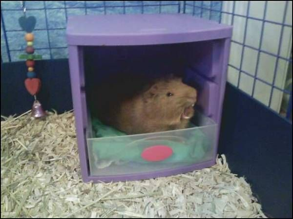 """Pablo yawning in his new storage container bed <img src=""""http://www.guineapigcages.com/photos/images/smile.gif"""" alt=""""Smile"""" />"""