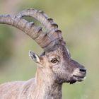 Alpensteinbock  Ibex