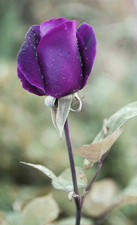 Purple Rose Bud Beautiful gorgeous pretty flowers