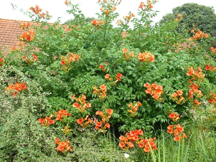 17 best images about landscape yves brunier on pinterest - Jasmin de virginie etoile ...