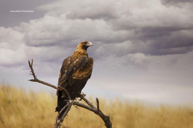 https://flic.kr/p/Qmc9fy | Wedge Tail Eagle | Flinders Ranges, South Australia