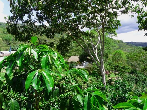Plantación de Café Villa Rica