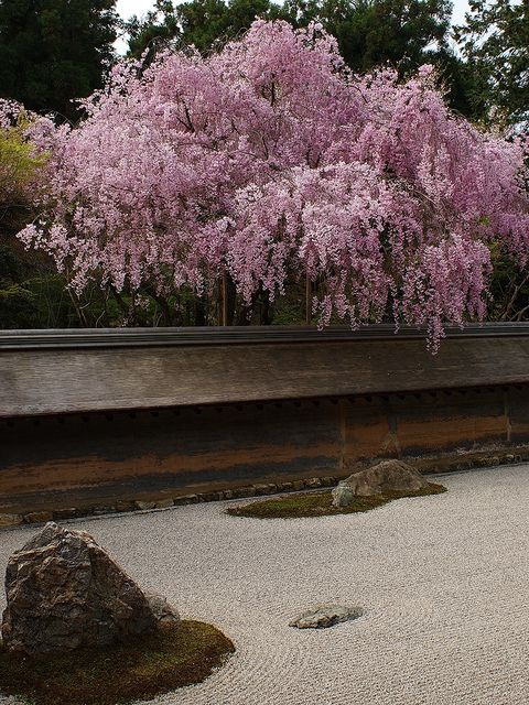 Cherry blossoms at Zen garden of Ryoan-ji Temple, Kyoto, JAPAN