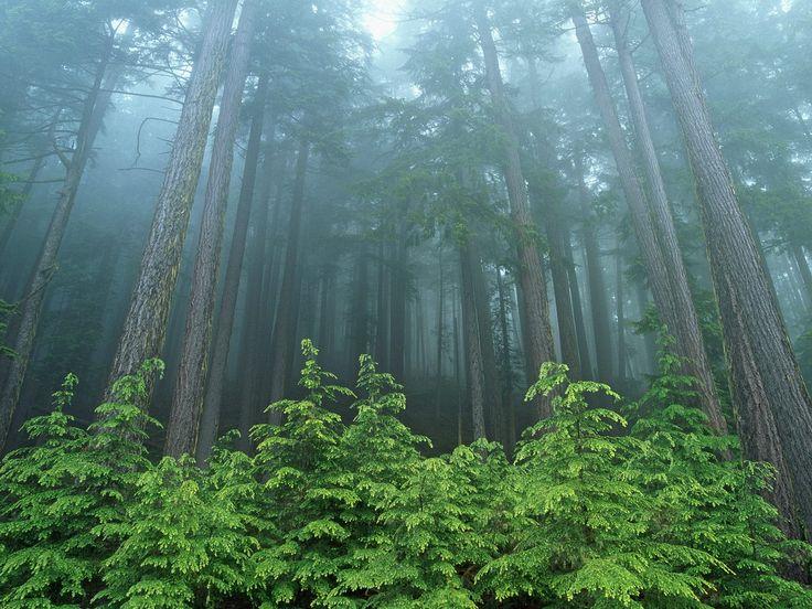 Evergreen Forest Olympic National Park Washington <3