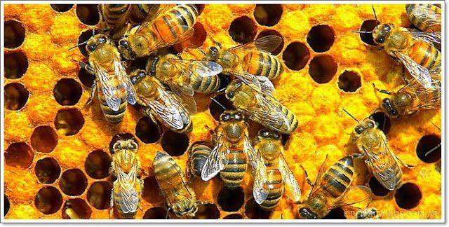 - Panal de abejas - http://etrecomanohomeopatia.blogspot.com.es/2015/01/les-abelles-ens-poden-salvar-la-vida.html