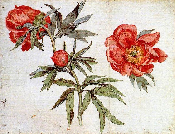 Study of Peonies - Мартин Шонгауэр. 1472 г.