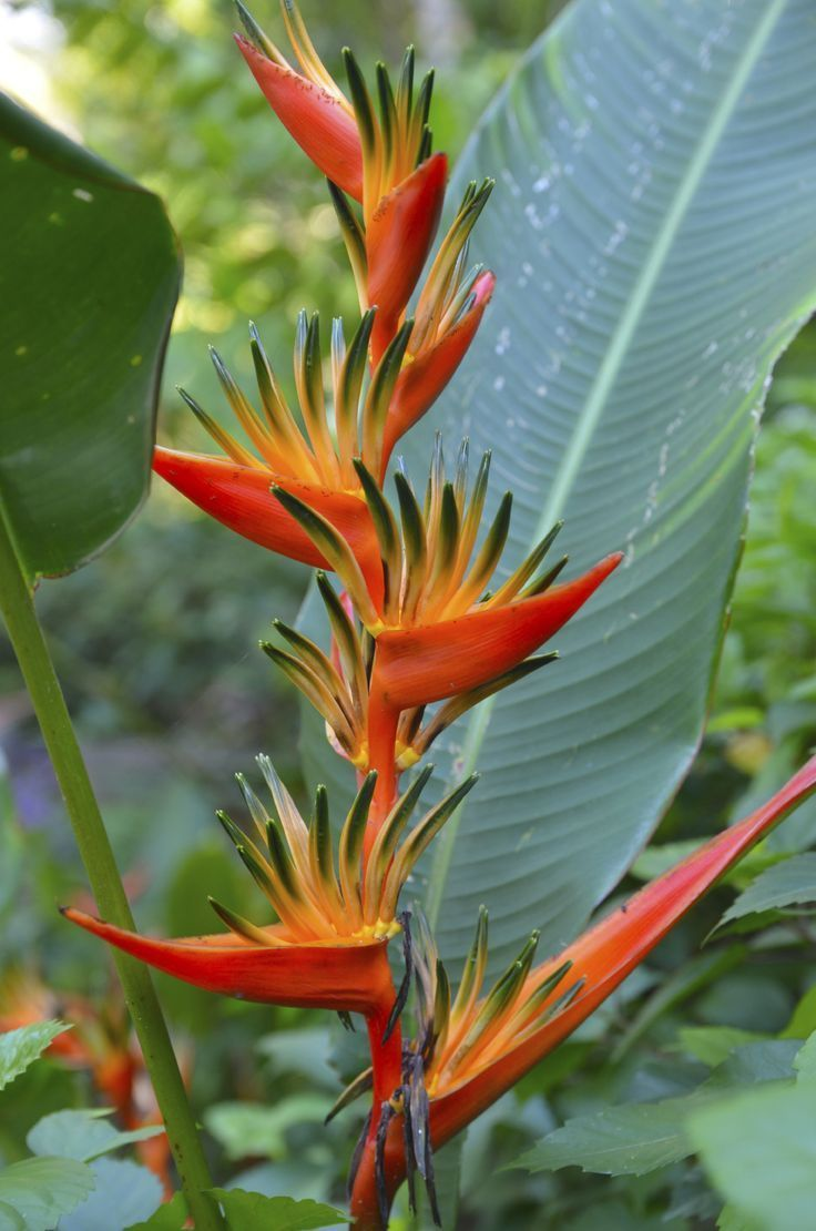 What Are The Different Species Of Bird Of Paradise Plants In 2020 Birds Of Paradise Plant Birds Of Paradise Flower Paradise Plant