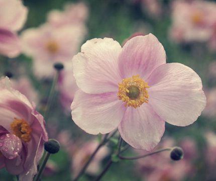 Vejledning om udplantning og pasning af høstanemone