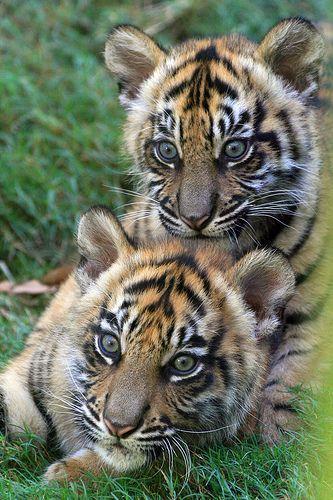 Teeny Tiny Tiger Totem – coole sprüche