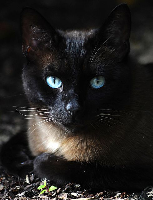 """The mind of God may be glimpsed in the eyes of a cat."" --Celtic Saying"